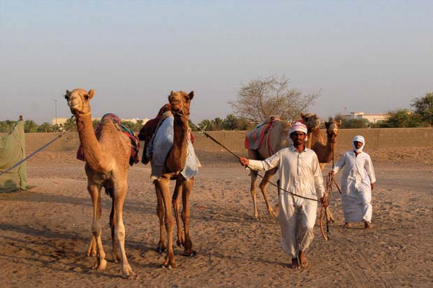 Camel Market Al Lisaili Dubai, shops, benches, stores, feeds, veterinary medicines, camel raising tool, equestrian tools, veterinary laboratorie, Dubai ,UAE