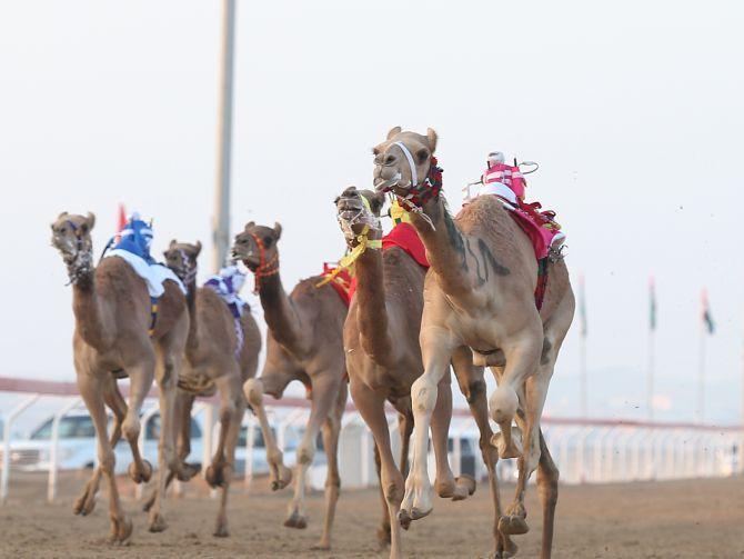 Al Marmoom Heritage Festival 2014, Al Marmoum Camel Racetrack, Dubai Al Ain Road, Dubai UAE, camels race, sport