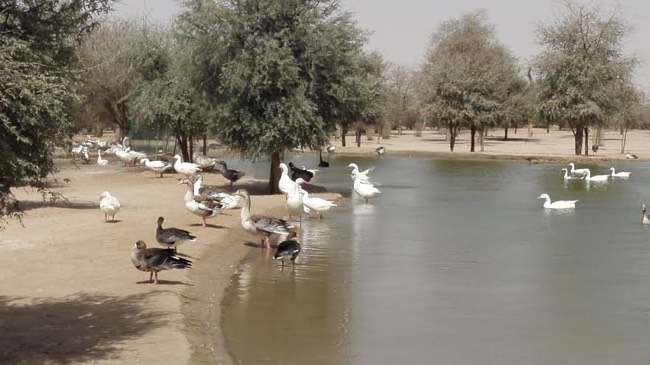 Birds at Al Qudra Lake
