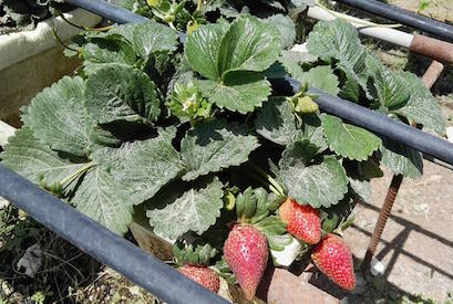 Strawberry farm in Dhaid Sharjah