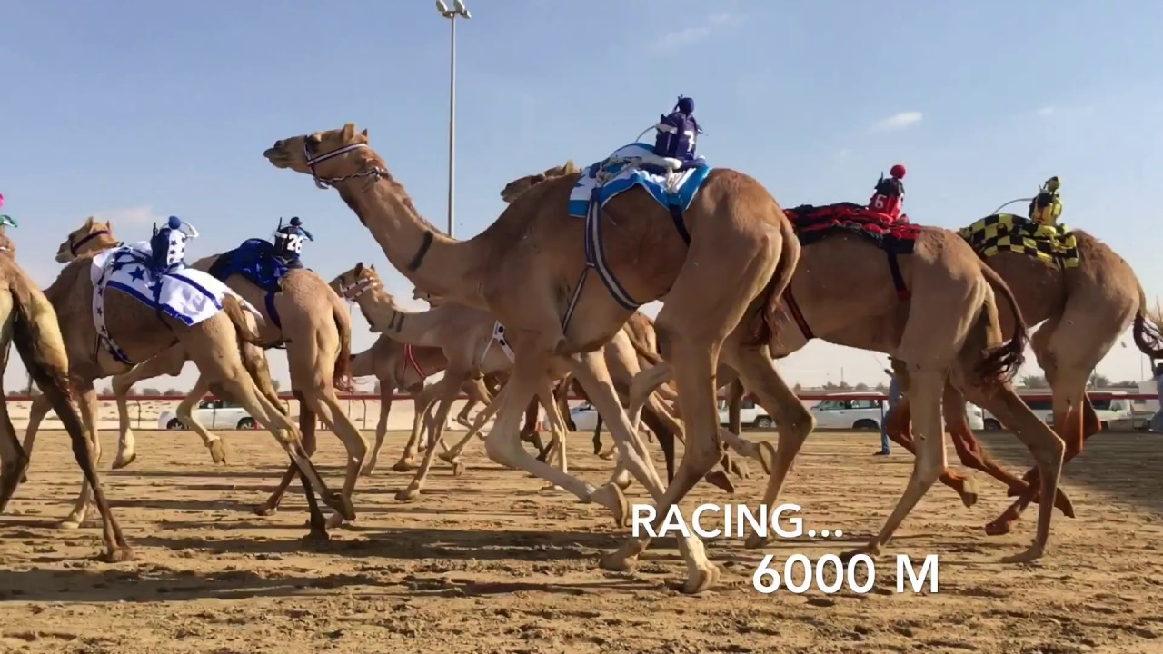 Camel Racing at Al Marmoom: 1-2 January Dubai 2020