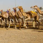 Camel Racing at Al Marmoom: 29-30 Januaryuary