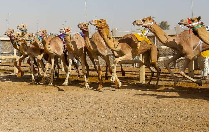Camel Racing at Al Marmoom: January 29-30 Dubai 2020