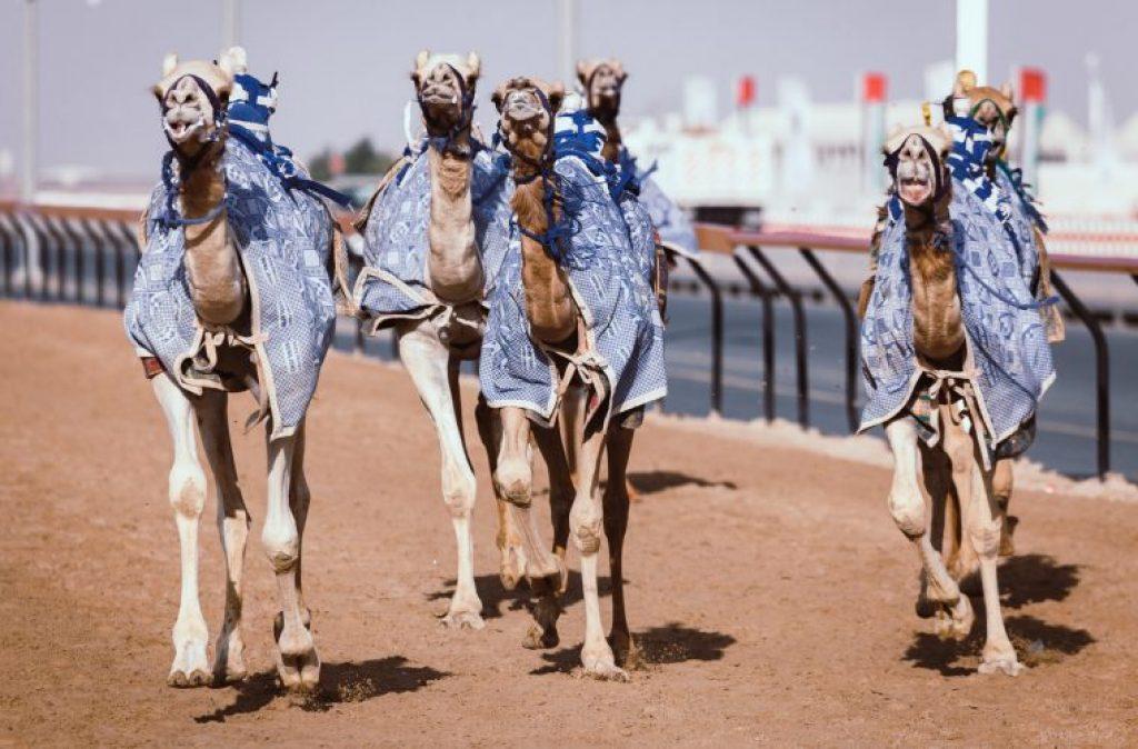 Camel Racing at Al Marmoom