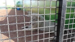 RAK-Zoo-White-Lion