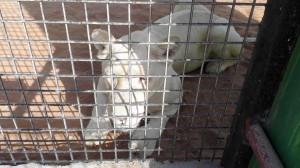 RAK-Zoo-White-Tiger