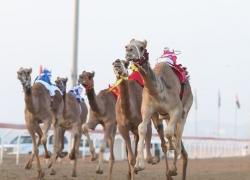 Dubai Camel Festival 2015 – Al Marmoom Heritage Festival 2015